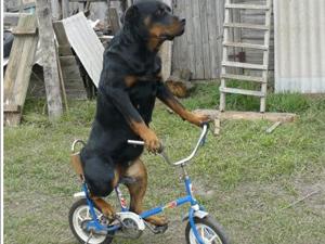 И собакам велопрогулки не чужды 3102648